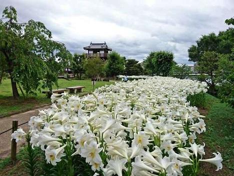 池田城跡公園のユリの花