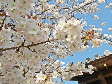 池田城跡公園の桜