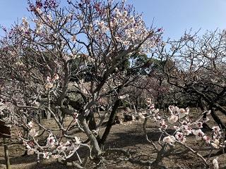道明寺天満宮 梅まつり ~桜?